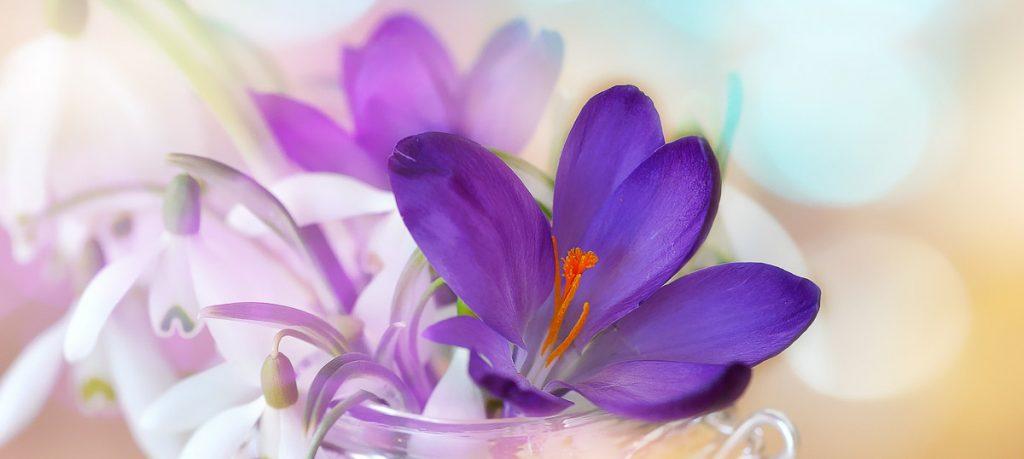 fleur-crocus