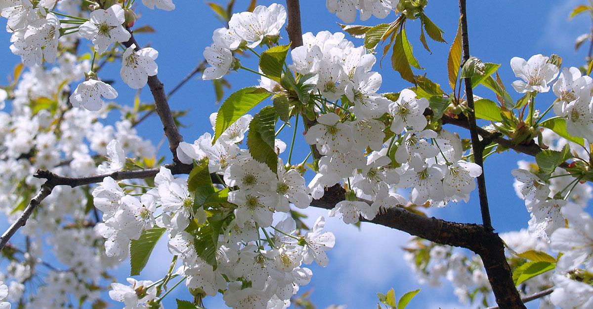arbre-fleurs-printemps